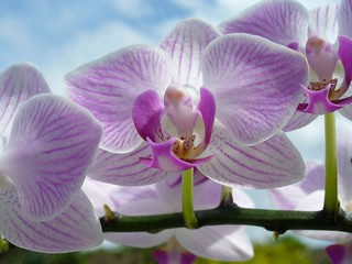 orchidee_papillon