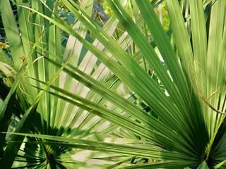 palmier_nain
