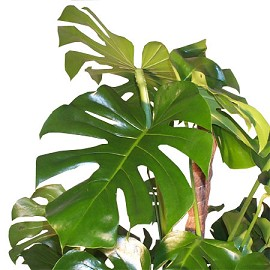 philodendron_monstera